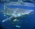 My first encounter with a whaleshark .... AWESOME!  Coral Bay - Western Australia