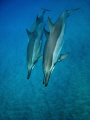 Spinner dolphins rest and play in the quiet bays of the Kona coast, Hawaii.