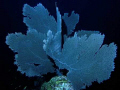 Sea Fan (Gorgonia ventalina), South-east of Dominican Republik