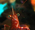 A Camel Shrimp that curiously approached the camera lens while my daughter Jeanine Garcia was taking photos of other Camel Shrimps in a bommie in Ligpo Reef, Batangas, Philippines