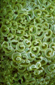 Anemone Texture - Wakatobi