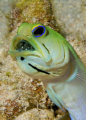 Male yellowhead jawfish with eggs in his mouth.  