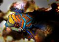 Dusk dive. Mandarin Fish. Olympus C5060.