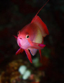 Male Anthias, shot with eos 30d and inon x2 housing.