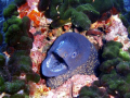 Moray-eel Calvi Corsica.Alot of the time these guys are timid but with the slow approach you can get in close