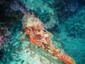 Scorpion fish having a nap