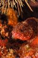 Dwarf scorpion fish