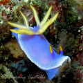 Nudibranch Stretch - Taken at Kirby's Rock divesite in Anilao Batangas. Camera Used: Canon Powershot A620, no strobe - 090907