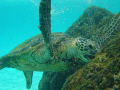 Green Sea Turtle, South Kohala Coast, Hawaii - 2007 AUG 06