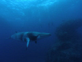 minke whale, hanging out