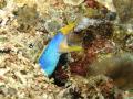 Ribbon eel (moray), Rhinomuraena quaesita