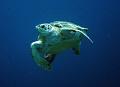 Turtle, Bonaire