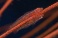 Pair of gobies laying their eggs on a whip coral