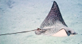 Eagle Ray taken in Naa'ma bay canon 100mm no flash