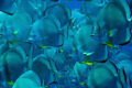 A wall of spade (bat)  fish - platax orbicularis - taken at Shark & Yolanda reef in natural light!