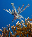 Lionfish - pterois miles - taken at Ras-Umm-Sid, Sharm el sheikh
