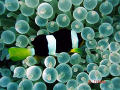Clarkes Nemo in Bubble Anenome, Meemu Atoll, Maldives.