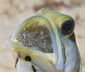 A lot of searching and a lot of luck to find this male Yellowhead Jawfish incubating eggs on Little Cayman Island, BWI. The eggs are just about to hatch.