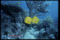 Yellow Butterflyes on the Red Sea