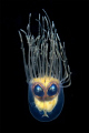 Alien... composition of a Gonionemus murbachii and the eyes of a lemon sole, Microstomus kitt. Looks a little eerie :-)