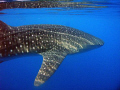 Whale shark, Puerto Princesa Bay, Palawan, the Philippines