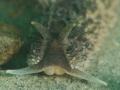 Coryphella verrucosa 16mm