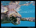 Juvenile Hawksbill Sea Turtle at the surface - at a tiny island called Coco Island, in the Seychelles.