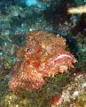 Scoripionfish
