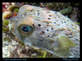 Porcupine fish in Jamaica. (Porcupinefish, blowfish, balloonfish, globefish)
