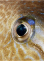 Trigger fish eye.Olympus c-7070 and YS-60