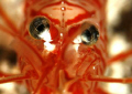 Look into my eyes! Peppermint shrimp. Bonaire. Canon XTi 100mm.