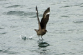 Chilean skua / brown skua in the Southern Atlantic / Beagle Channel