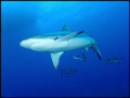 Grey Reef Shark, seconds I submerged, taken with a NikonosV.