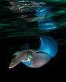 Reef squid taken on a night dive at Ras Umm Sid.