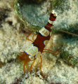 Ambon Cleaner Shrimp. Bonaire. Canon XTi 100mm.
