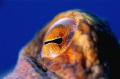 Octopus eye's.