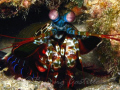 Mantis Shrimp - Taken in Anilao Batangas. Camera used: Canon A620, no strobe - 012708