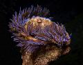 Pteraeolidia ianthina, Sydney