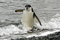 Chinstrap penguin, negotiating the surf. Sure the PADI manual says to walk backwards.