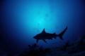Bull shark at Dusk