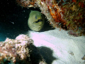 Large green moray eel hidden behind rock formation