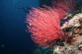 Whip corals-Palau