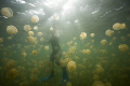 Jellyfish Lake-Snorkelimg with jellyfish