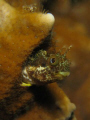Blenny, Crash Boat Piers
