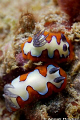 Pair of Chromodoris fidelis. Picture taken off Hikkaduwa, Sri Lanka.