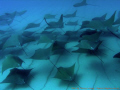 Sea of Cortez.....Cow nose schooling rays