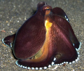 Posing Octopus in Lembeh Strait
