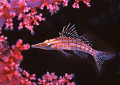 hawkfish amongst the soft coral