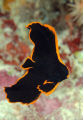Juvenile batfish. Very shy fish.