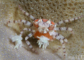 Boxer crab with her eggs...